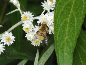 Andrenid bee on Pearly Everlasting flowers